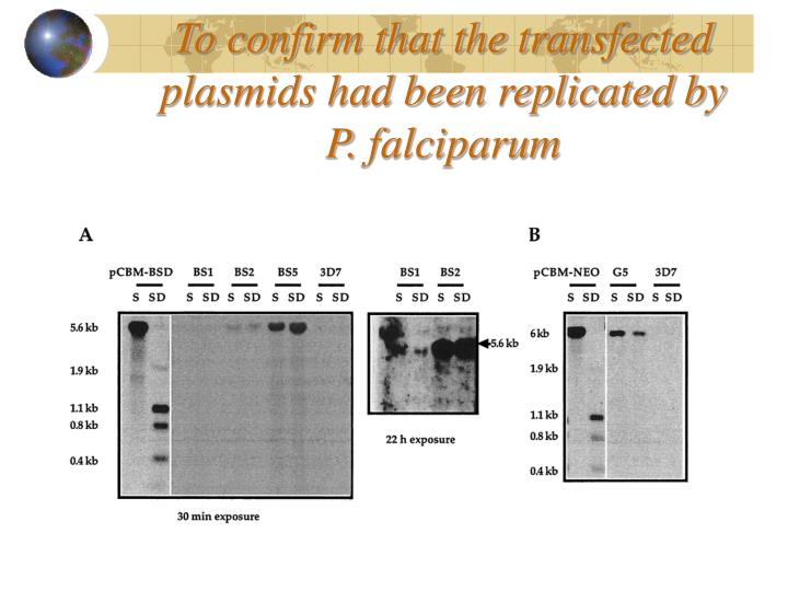 To confirm that the transfected