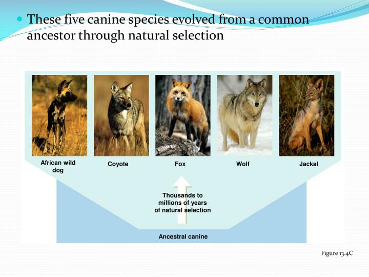 These five canine species evolved from a common ancestor through natural selection