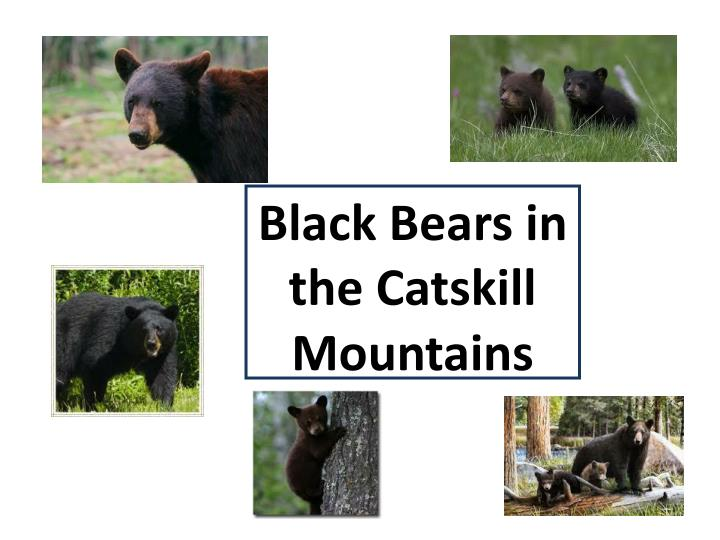 Black Bears in the Catskill