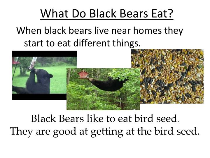 What Do Black Bears Eat?