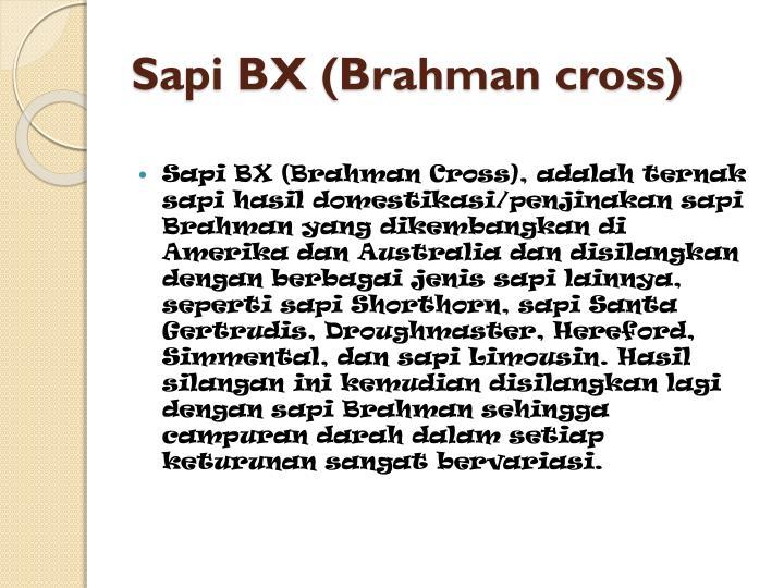 Sapi BX (Brahman cross)