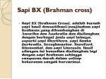 sapi bx brahman cross