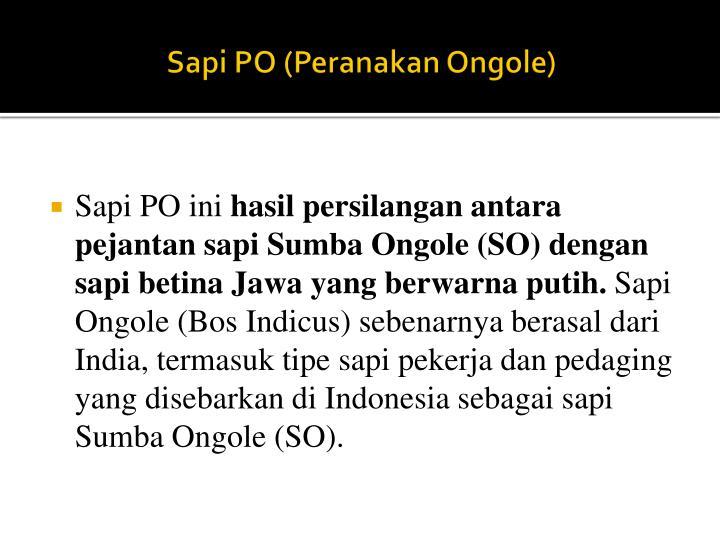 Sapi PO (Peranakan Ongole)