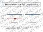 hybrid detection in s pastorianus2
