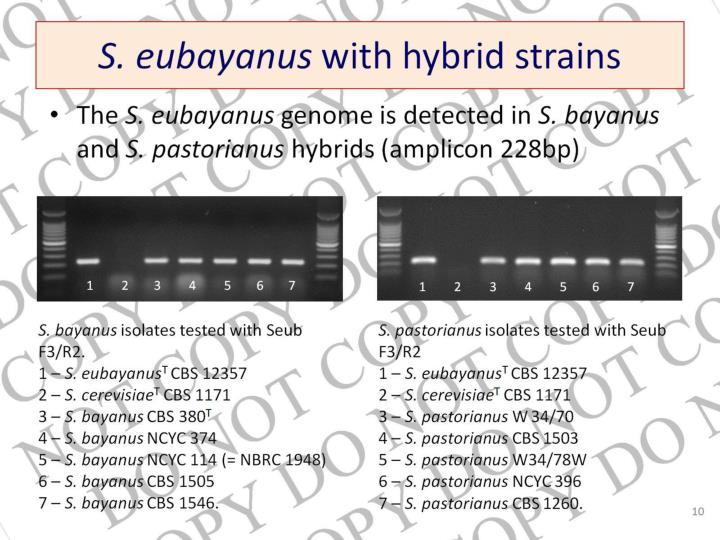 S. eubayanus