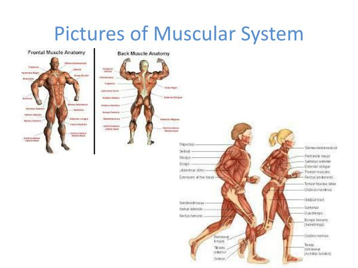 Pictures of muscular system