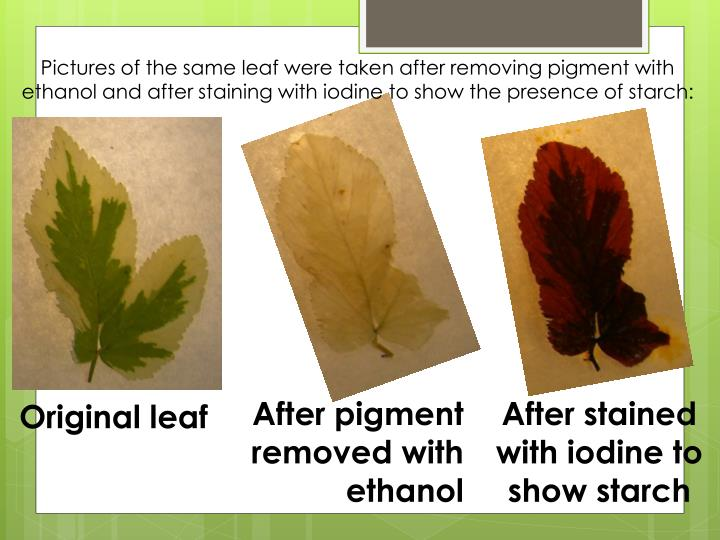 Pictures of the same leaf were taken after removing pigment with ethanol and after staining with iodine to show the presence of starch: