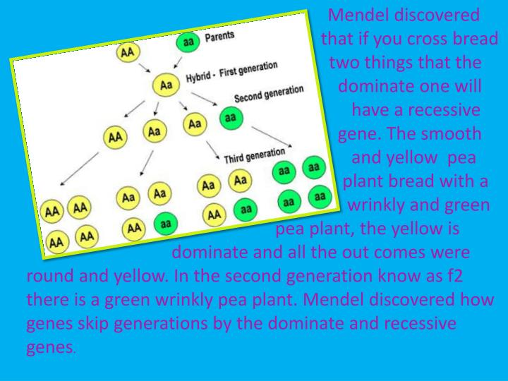 Mendel discovered          that if you cross bread                                                            two things that the                                                           dominate one will                                                                              have a recessive                                                           gene. The smooth                                                              and yellow  pea                                                                  plant bread with a                                                                             wrinkly and green                                                           pea plant, the yellow is                                         dominate and all the out comes were round and yellow. In the second generation know as f2 there is a green wrinkly pea plant. Mendel discovered how genes skip generations by the dominate and recessive genes