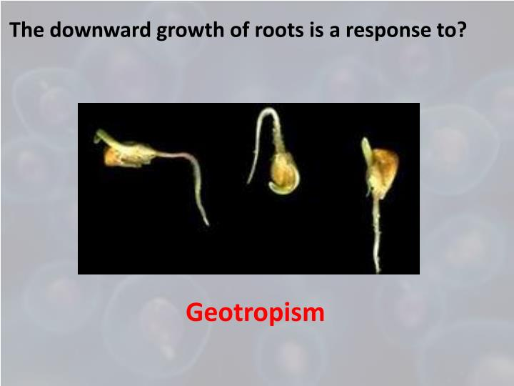 The downward growth of roots is a response to?