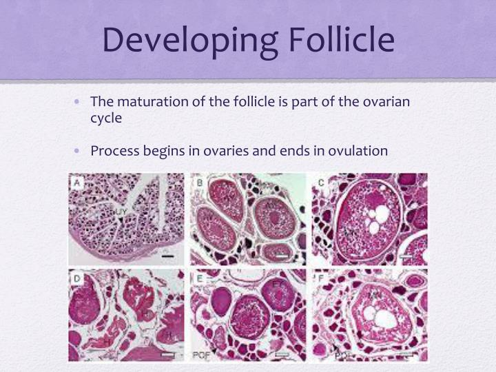 Developing Follicle