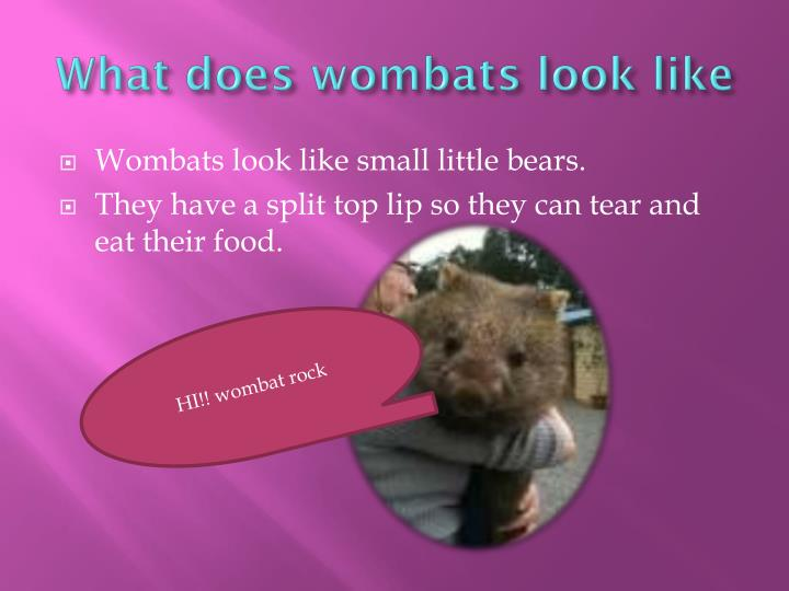 What does wombats look like