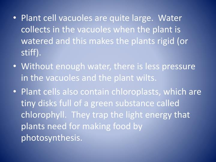 Plant cell vacuoles are quite large.  Water collects in the vacuoles when the plant is watered and this makes the plants rigid (or stiff).