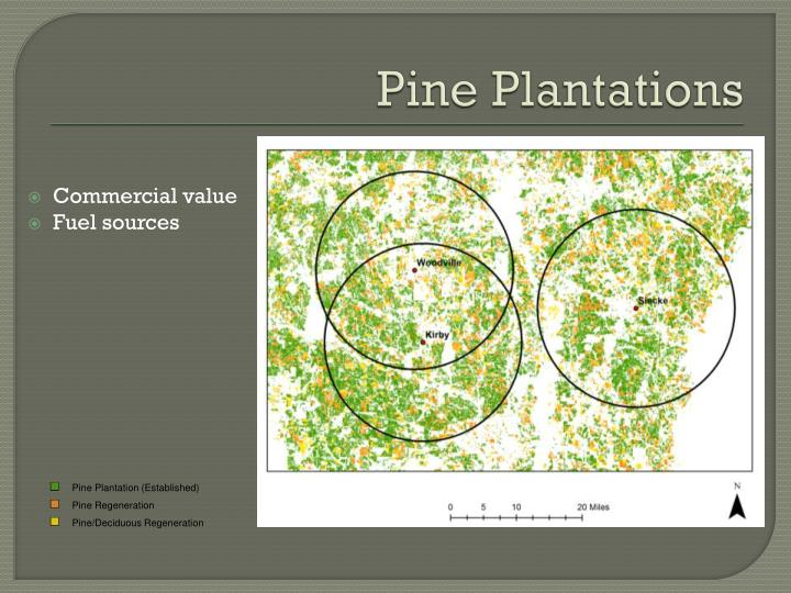 Pine Plantation (Established)