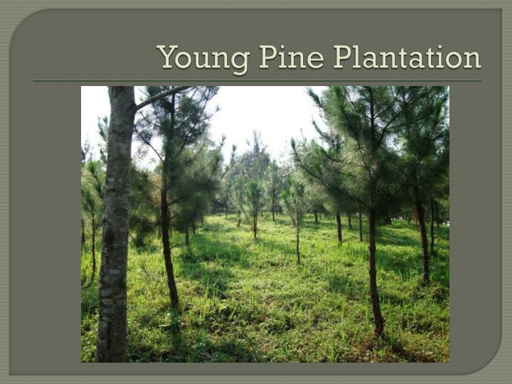 Young Pine Plantation