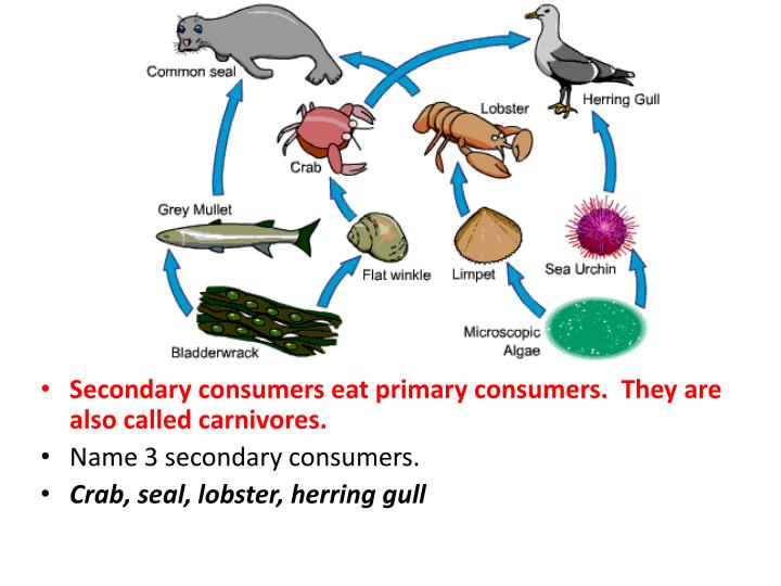 Secondary consumers eat primary consumers.  They are also called carnivores.