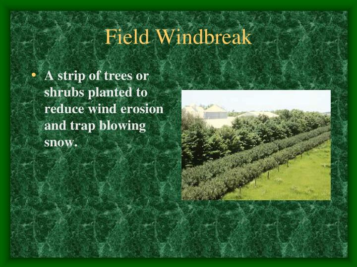 Field Windbreak