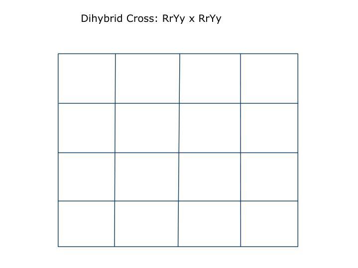 Dihybrid Cross: RrYy x RrYy