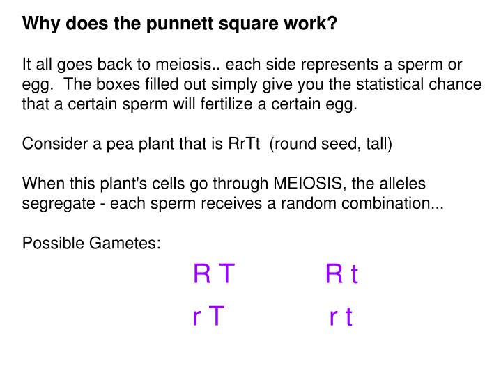 Why does the punnett square work?