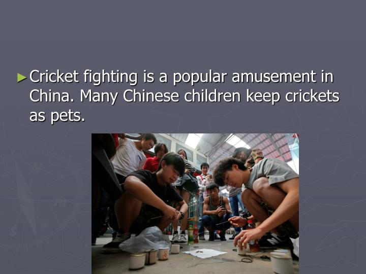 Cricket fighting is a popular amusement in China. Many Chinese children keep crickets as pets