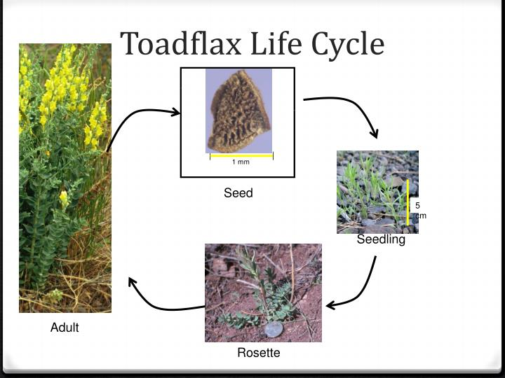 Toadflax Life Cycle