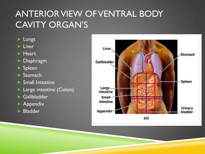 Anterior View of Ventral Body Cavity Organ's
