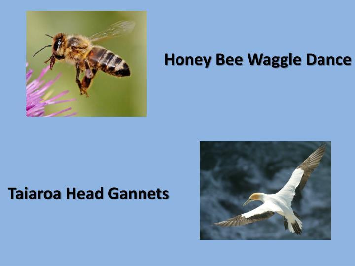 Honey Bee Waggle Dance