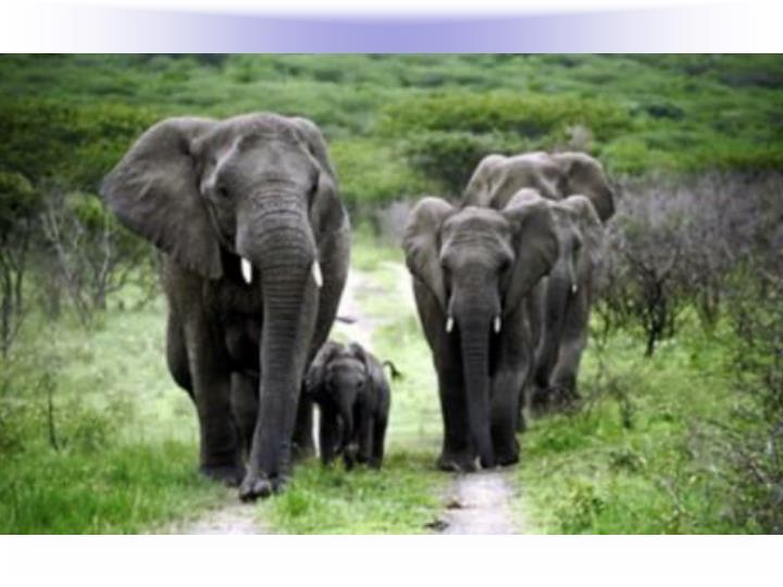 Elephants Detect Infrasounds