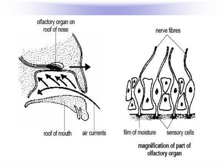 Vertebrates and Smell