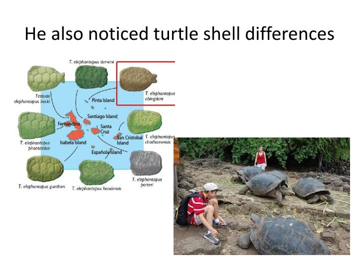 He also noticed turtle shell differences