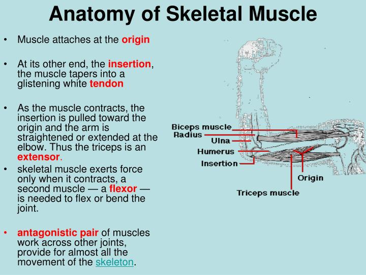 Muscle attaches at the