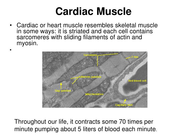 Cardiac or heart muscle resembles skeletal muscle in some ways: it is striated and each cell contains sarcomeres with sliding filaments of actin and myosin.