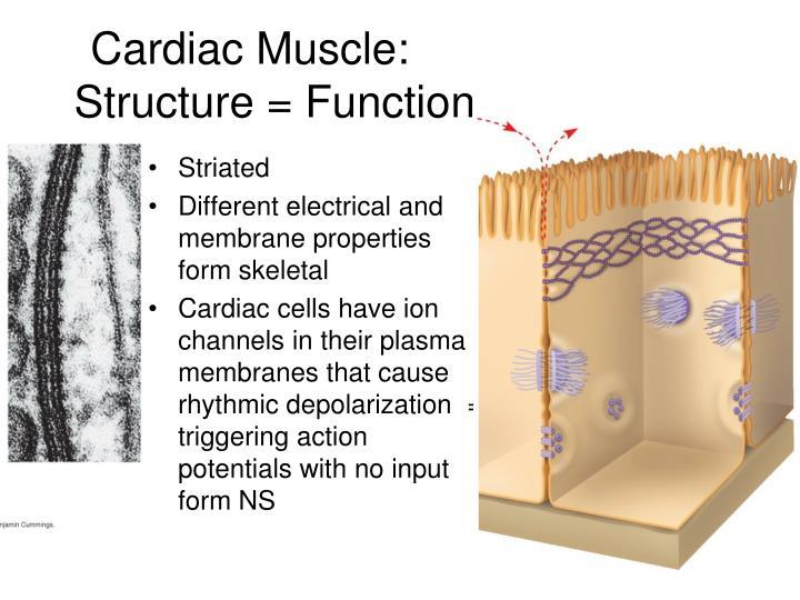 Cardiac Muscle: