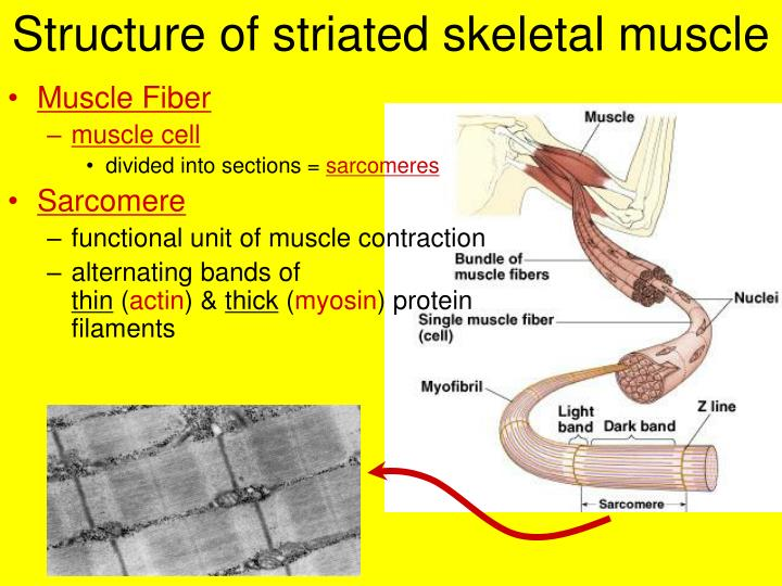 Structure of striated skeletal muscle