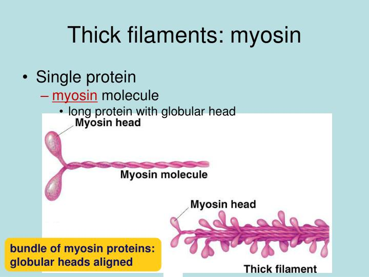 Thick filaments: myosin
