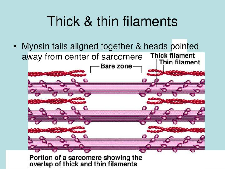 Thick & thin filaments