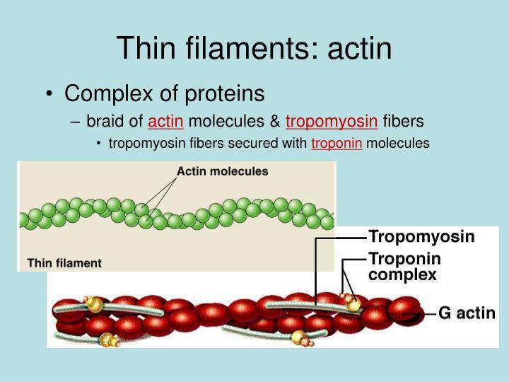 Thin filaments: actin