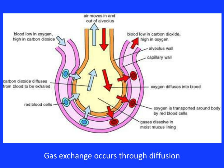 Gas exchange occurs through diffusion