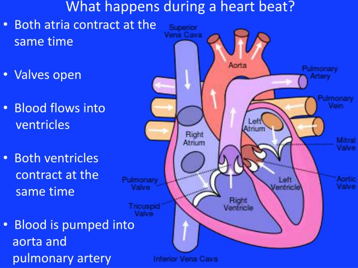 What happens during a heart beat?