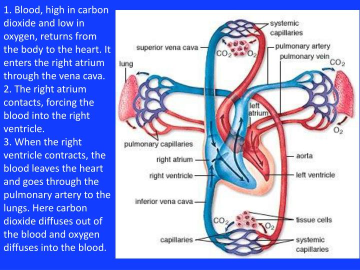 1. Blood, high in carbon dioxide and low in oxygen, returns from the body to the heart.