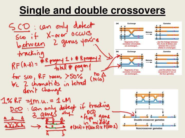 Single and double crossovers