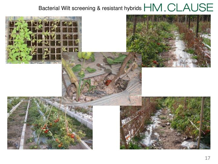 Bacterial Wilt screening & resistant hybrids