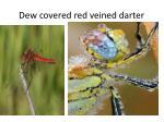 dew covered red veined darter