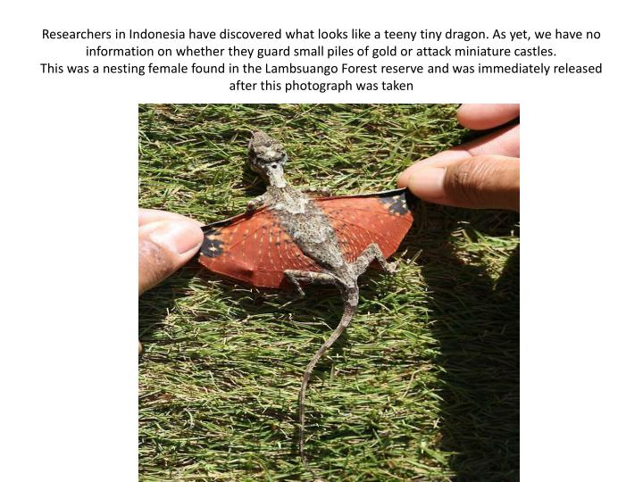 Researchers in Indonesia have discovered what looks like a teeny tiny dragon. As yet, we have no information on whether they guard small piles of gold or attack miniature castles.