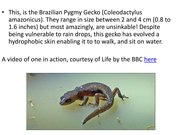 This, is the Brazilian Pygmy Gecko (