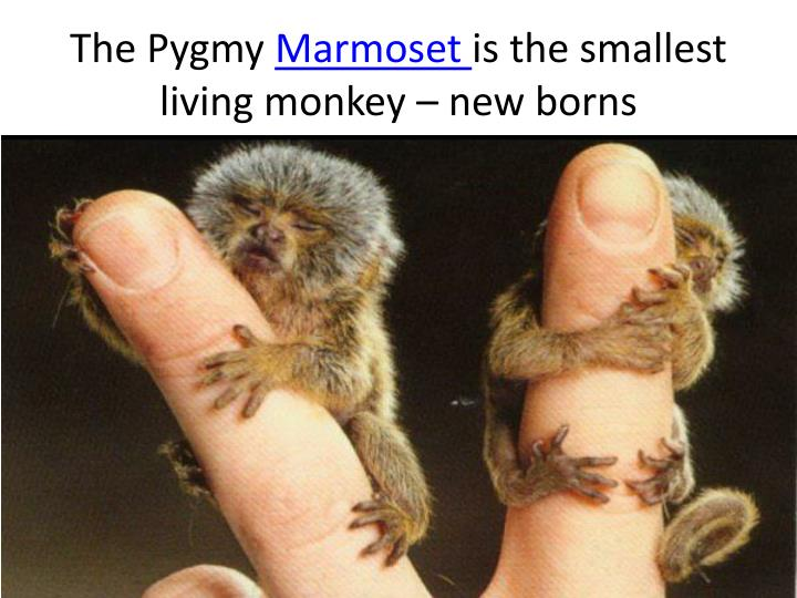 The Pygmy