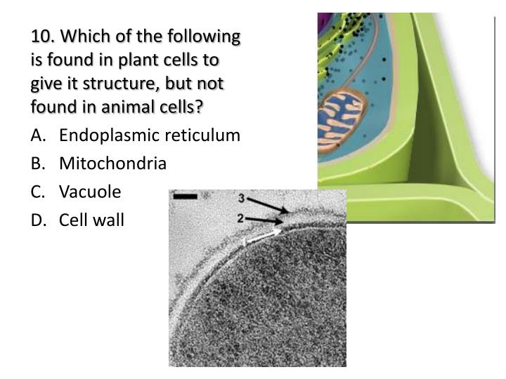 10. Which of the following is found in plant cells to give it structure, but not found in animal cells?
