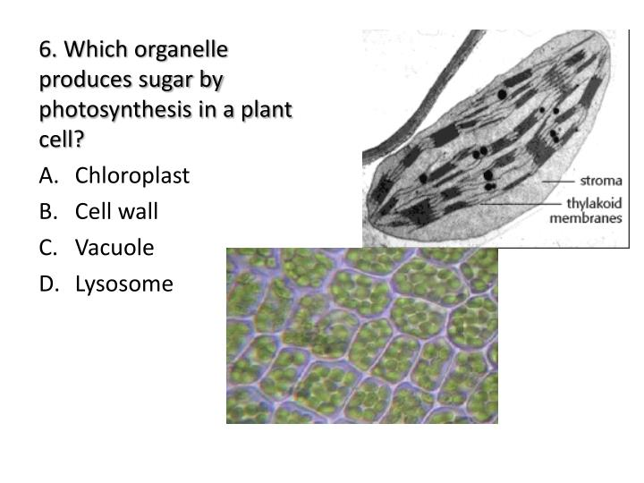 6. Which organelle produces sugar by photosynthesis in a plant cell?