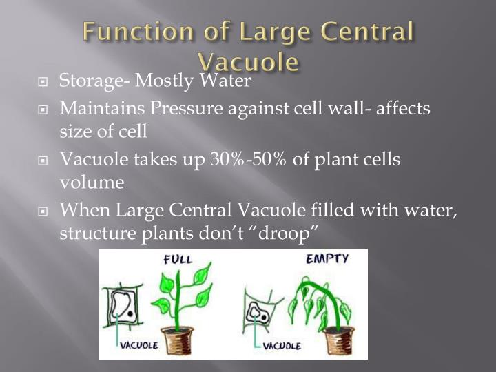 Function of large central vacuole