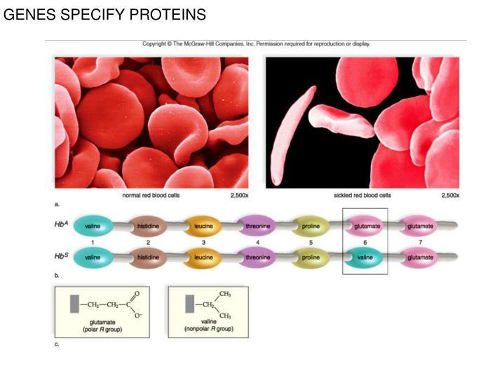GENES SPECIFY PROTEINS