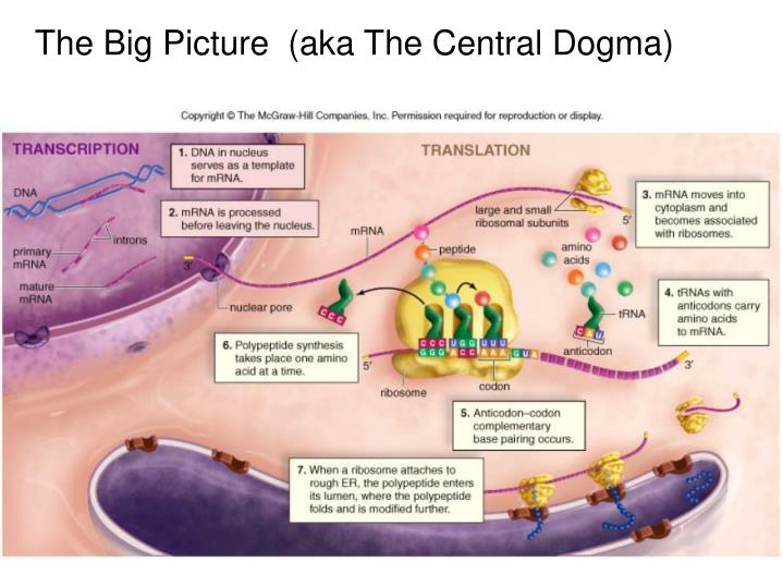 The Big Picture  (aka The Central Dogma)